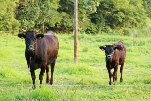 移住すると牛がもらえる地域も