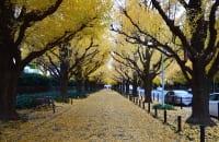 毎年秋には神宮外苑のイチョウ並木に多くの人が集まる