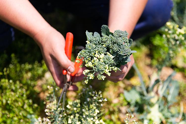 ブロッコリーは収穫から店頭に並ぶまでの数日で開花することもある