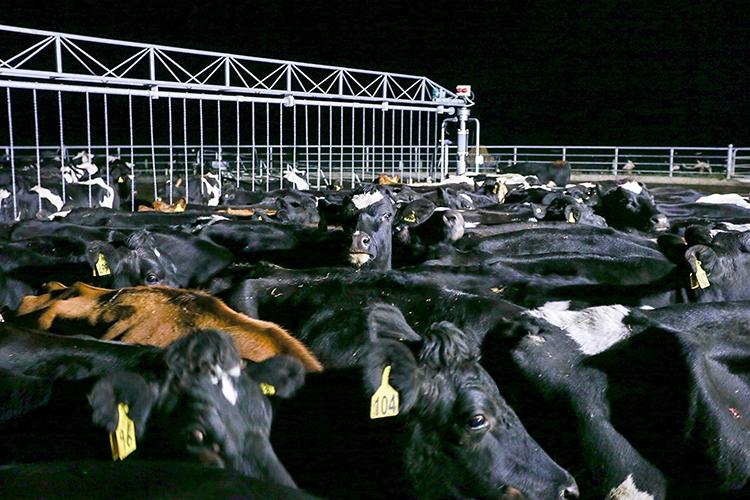 """牛を""""大量生産""""するために「肥育ホルモン」を投与する(Getty Images)"""