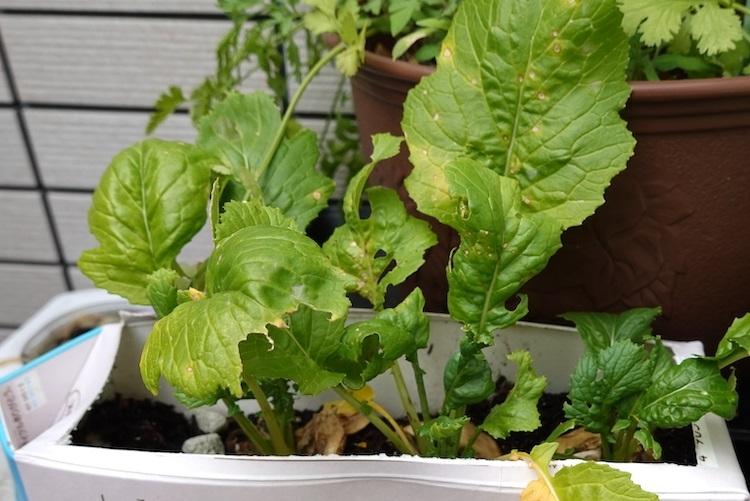 葉っぱが枯れてしまった家庭菜園の青梗菜