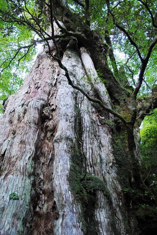 鹿児島県・屋久島で唯一、車窓から見ることができる紀元杉(写真提供/鹿児島県観光連盟)