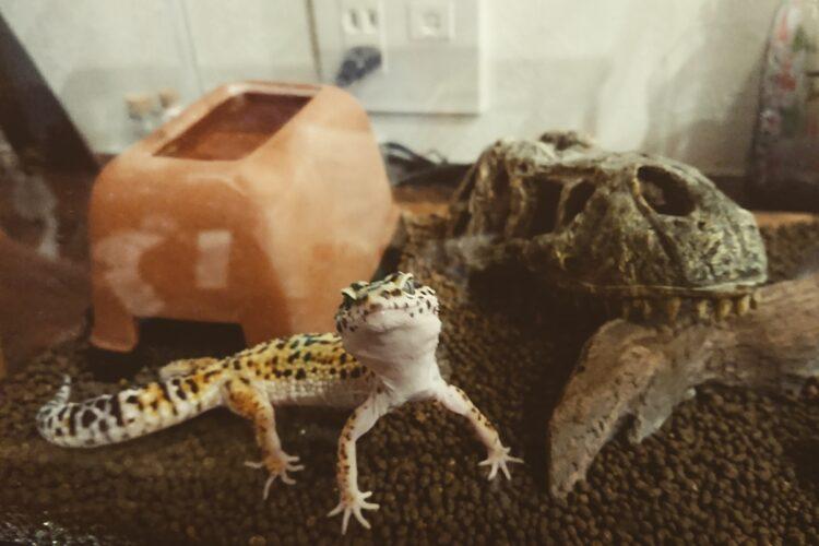 爬虫類は飼育禁止と言われてなかったけど…(写真はヒョウモントカゲモドキ。イメージ)