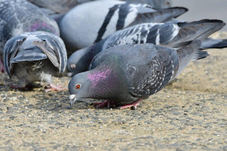 「鳩の餌やりおじさん」にどう対処する?(イメージ)